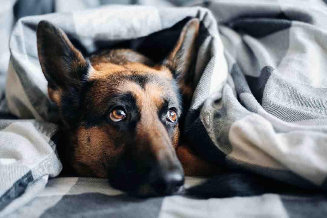 Comment calmer chien mâle chaleur